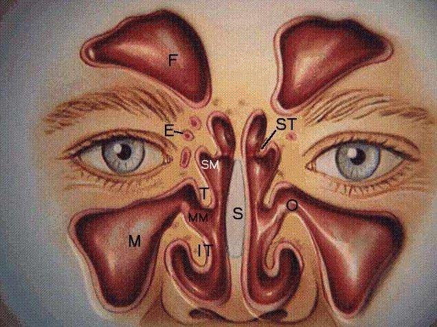 пазух носа носит название
